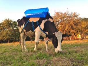 Cows emit methane, a greenhouse gas 22 times more potent than CO2, as collected in this blue bag at a research facility in Argentina.