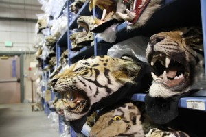 The U.S. is the #2 consumer of wildlife products behind China. Many of them end up here at the National Wildlife Property Repository.